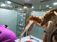 Azahara at the vet.jpg