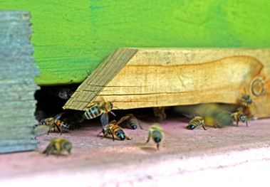 Bienen am Eingang ihrer Kolonie.