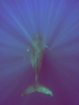 Tonga - Königreich der Wale IV