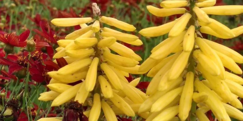 Kniphofia 'Poco Yellow'