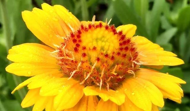 Gaillardia 'Gallo Yellow'