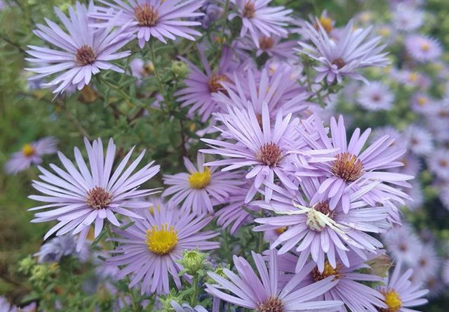 Aster or Symphyotrichum