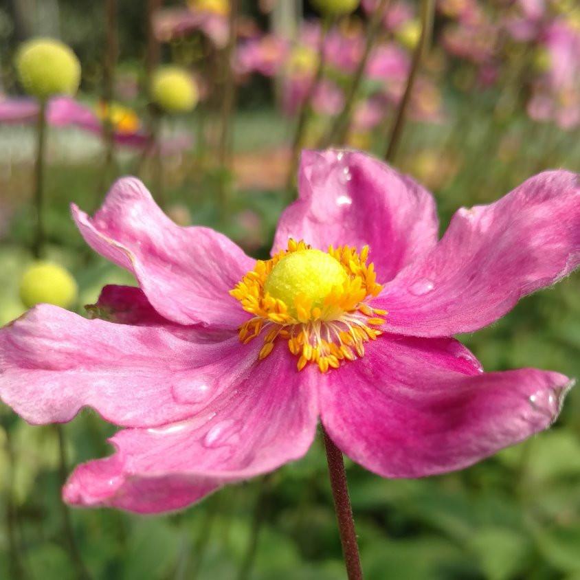 Anemone 'Pretty Lady Diana'
