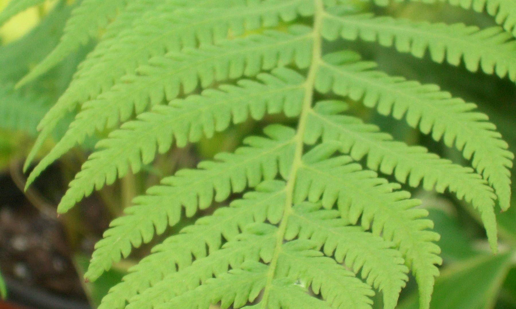 Thelypteris kunthii