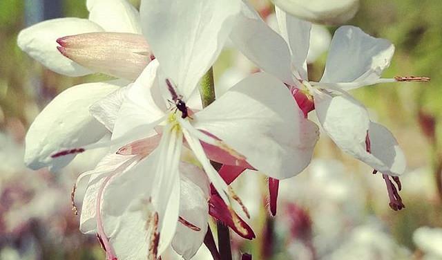 Gaura 'Belleza White'