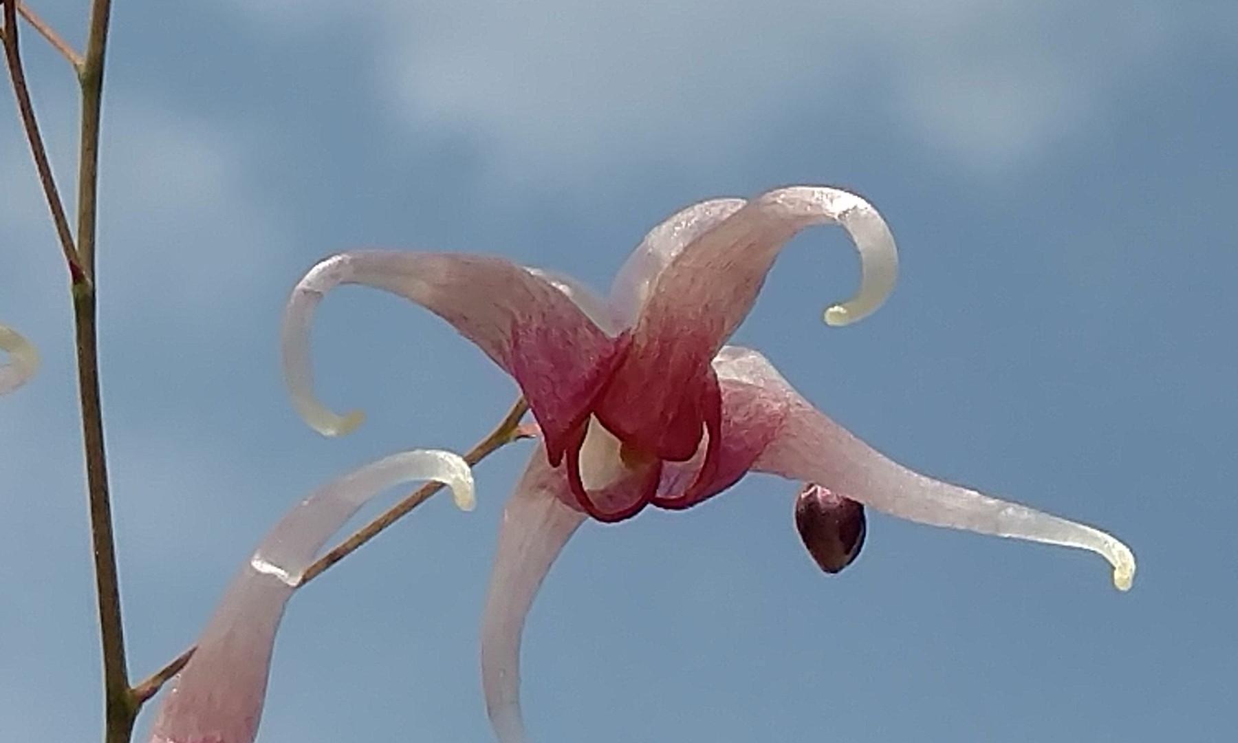 Epimedium 'Pink Champagne' flowers