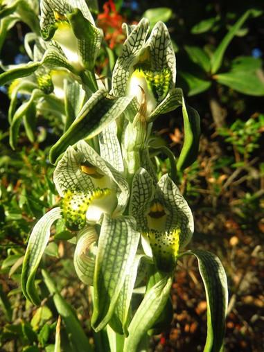 Magellan Orchid