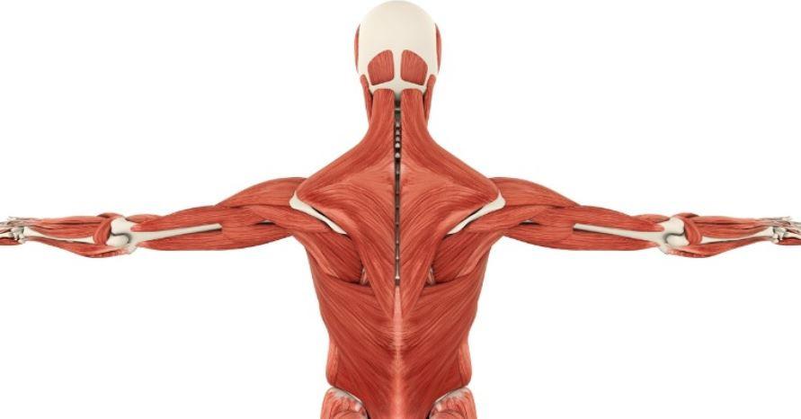 Jo større muskelmasse, desto større kreatindepoter har vi. Når kreatindepoterne er fyldt op, kan vi øge energidannelse i vores muskelceller.