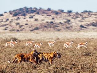 tiger-impala-OP.jpg