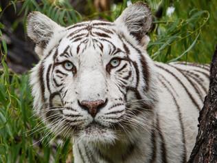 white-tiger-OP.jpg