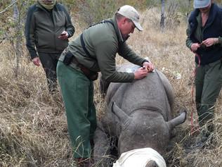 Rhino-Dart1-OP.jpg