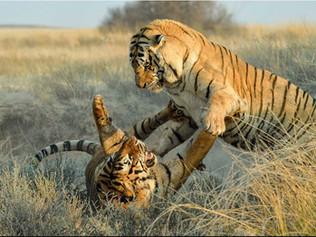 Tiger-fight-OP.jpg