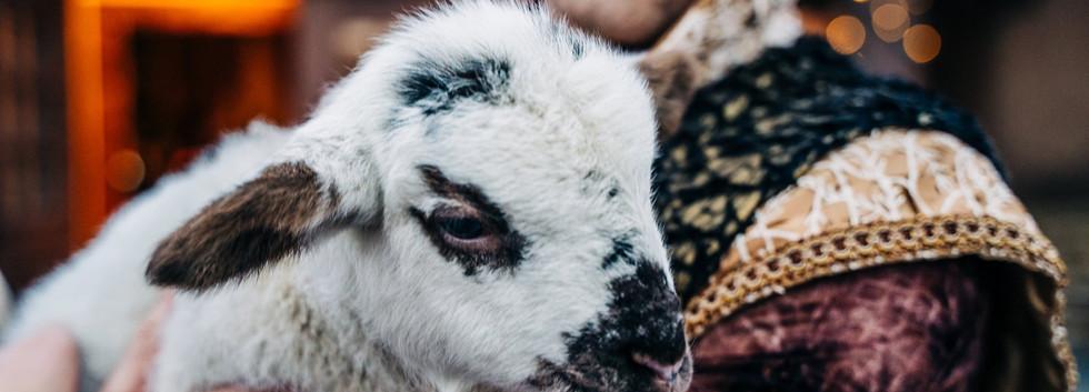 Salt the Sheep