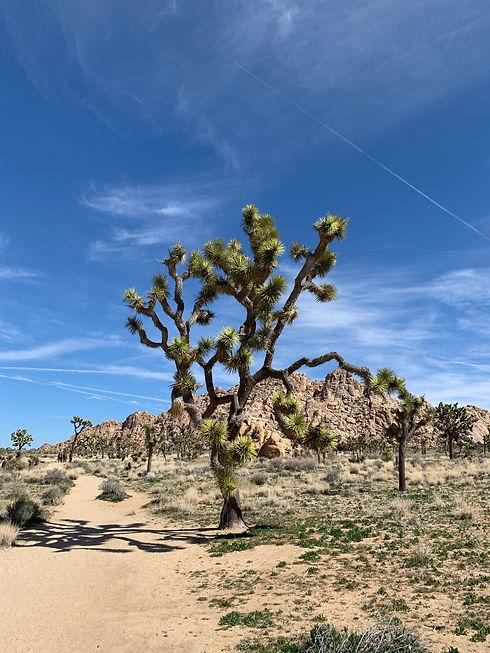 joshua tree.jpg