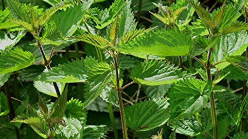 Stinging Nettle Loose Leaf Tea