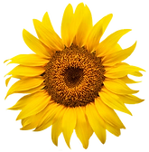 sunflower only.png