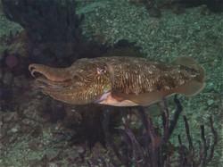 cuttel fish
