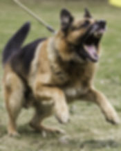 Aggressive german shepherd.jpg