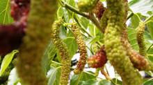 סגולות המרפא של תות עץ