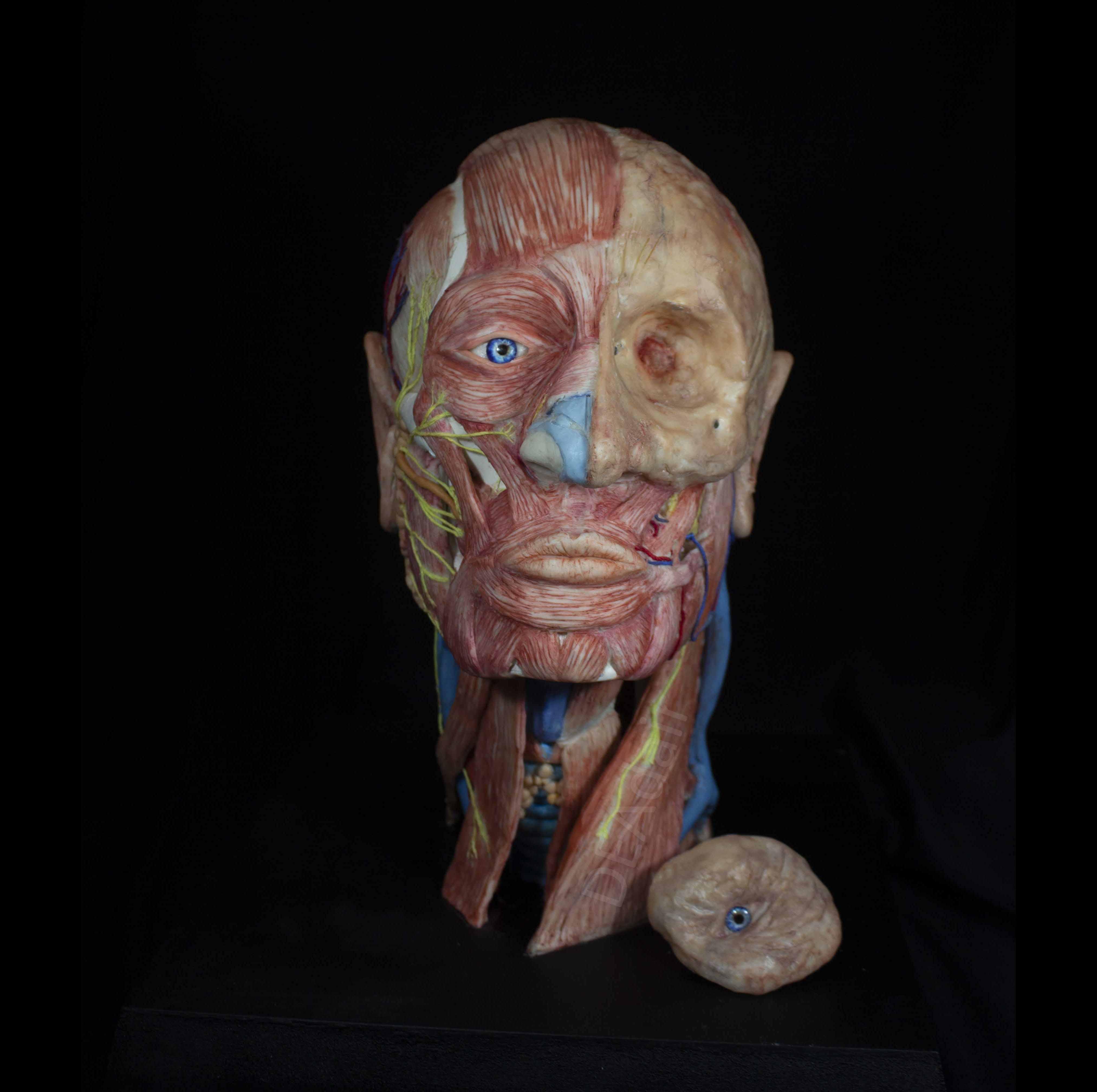 Anatomical Sculpture