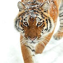 Portrait of Tiger in its natural habitat