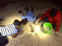 Leatherback eggs relocation