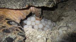 Hawksbill lays eggs