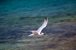 L'Ilet - Royal tern
