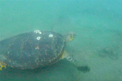 Poached & Rescued nesting hawksbill free