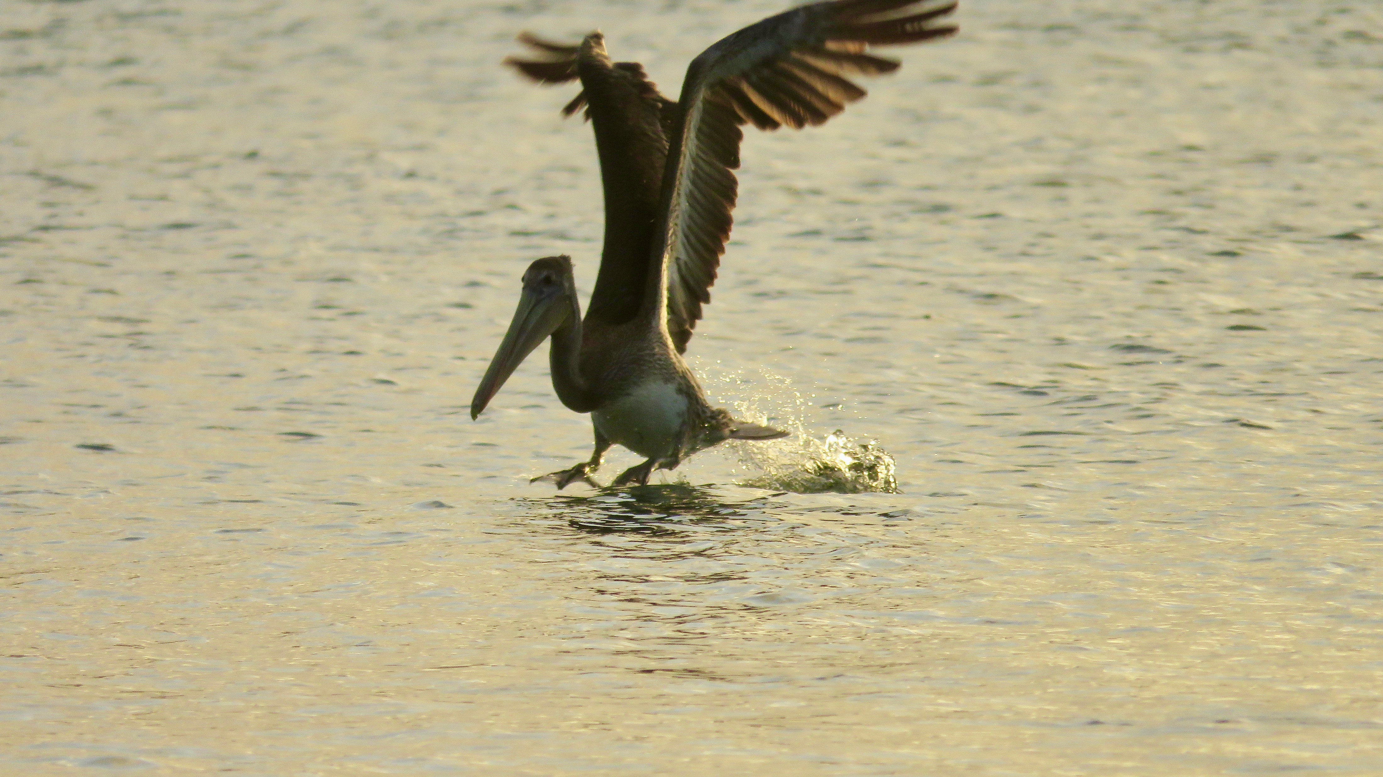 Brown Pelican at White island