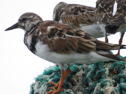 Petit Carenage, Bird Sanctuary - Ruddy T