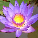 Lotus Flower 2.jpg