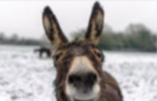 donkey in snow pixabay.JPG