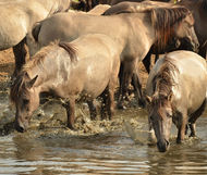 horses in water_edited.jpg