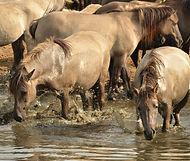 horses in water_edited.jpg
