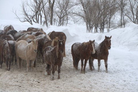Horses endure blizzard-like conditions near Lantry, S.D.