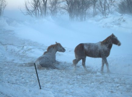 Two horses struggling with harsh winter conditions in SD.