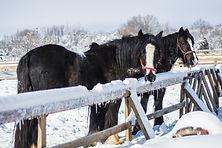 black horses in show.jpg