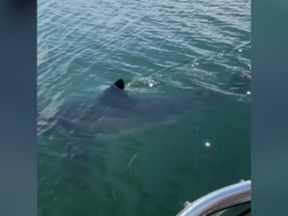 Great white shark caught on camera off Nova Scotia waters