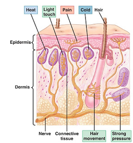 receptors-2.png