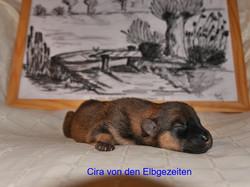Cira von den Elbgezeiten