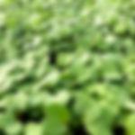 Micro Arugula 2.jpg