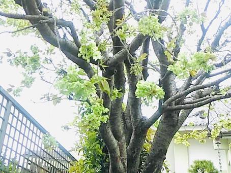 神楽坂、法正寺で観られる桜「御衣黄」と「関山」