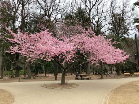 井の頭公園の河津桜🌸