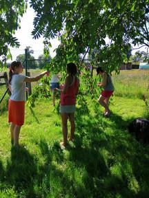 Recolte des cerises.jpg