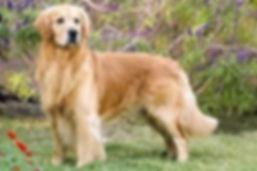 Golden Retriever Long Coat.jpg