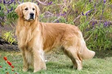 Golden Retriever Long Coat.jpg