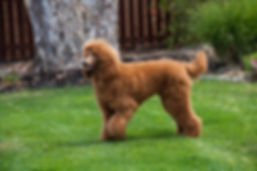 Standard Poodle Long Coat.jpg