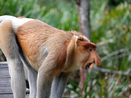 Путешествие по Азии в поисках обезьян-носачей. Часть третья - Борнео