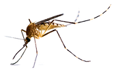 mosquito_PNG18171.png